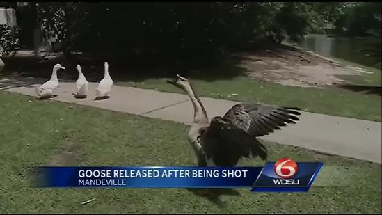Injured goose now healthy and loose