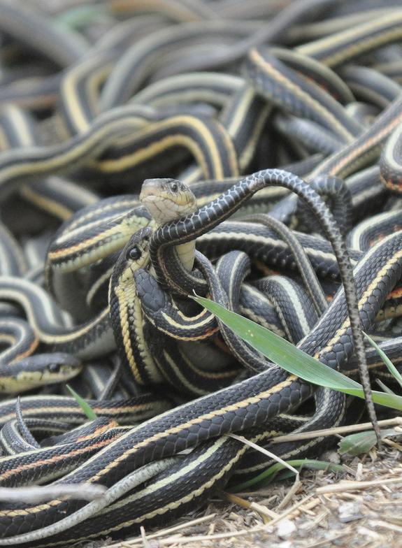 A female red-sided garter snake in a mating ball.