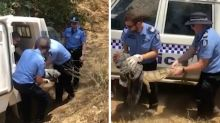 Police forced to chase down croc found wandering 3km from water