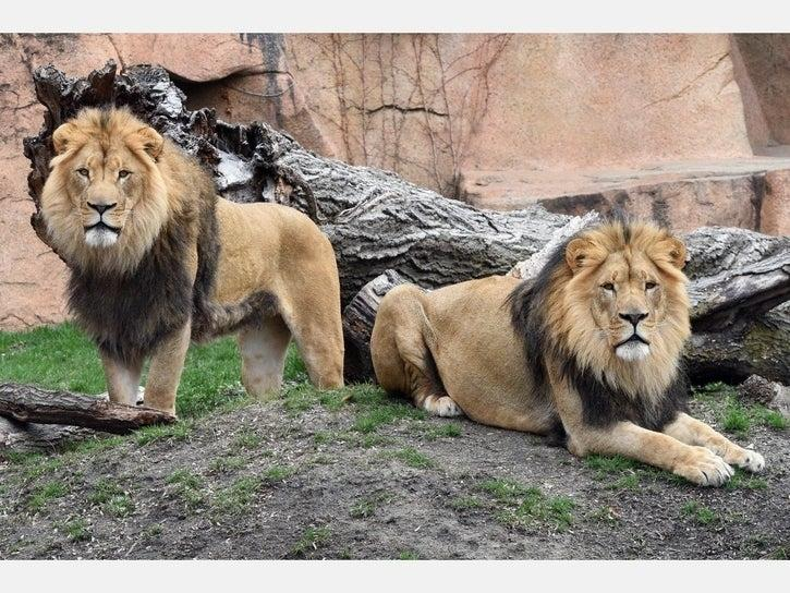 Titus and Brutus, two 4-year-old African lions arrived at Brookfield Zoo on March 17. Once the zoo reopens, guests will be able to see them in their outdoor habitat.