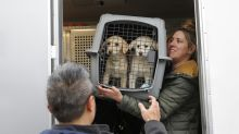 46 dogs, saved from slaughter, arrive in NY from South Korea