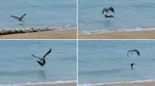 Descubren de forma inesperada a un águila marina torturando a un murciélago
