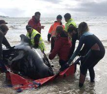 Tasmania pilot whales: Australia to euthanise stranded animals