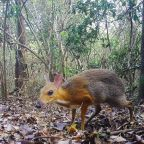 Rediscovery of 'extinct' mouse deer highlights Vietnam's wealth of bizarre but threatened wildlife