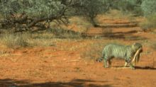 Researchers spot giant feral cat carrying dead goanna in outback