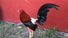 """Citando a la Unesco, una ciudad de Perú declaró como """"Patrimonio Cultural"""" las peleas de gallos"""