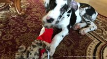 Great Dane puppy gets his first taste of Christmas