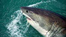 ¿De verdad acabará la vacuna contra el COVID-19 con medio millón de tiburones?