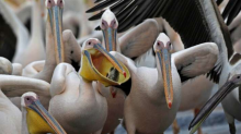 Israeli Fish Farmers Are Feeding Pelicans 'Lunch,' But Not By Choice