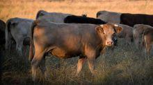 Aisne: une vache d'un agriculteur de Pierrepont retrouvée égorgée
