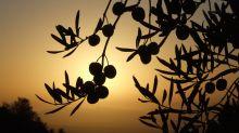 Cosecha temprana, monovarietales... ¿sabes realmente de aceite de oliva virgen extra?