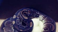 Cobra de 62 anos bota ovos sem precisar de machos