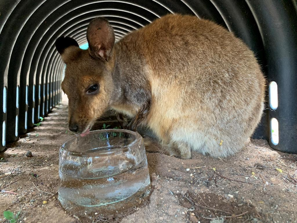 Rock wallabies have been given ice to lick at the zoo (AFP Photo/Handout)