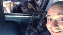 'This is a police appeal — get these goats out of my car'