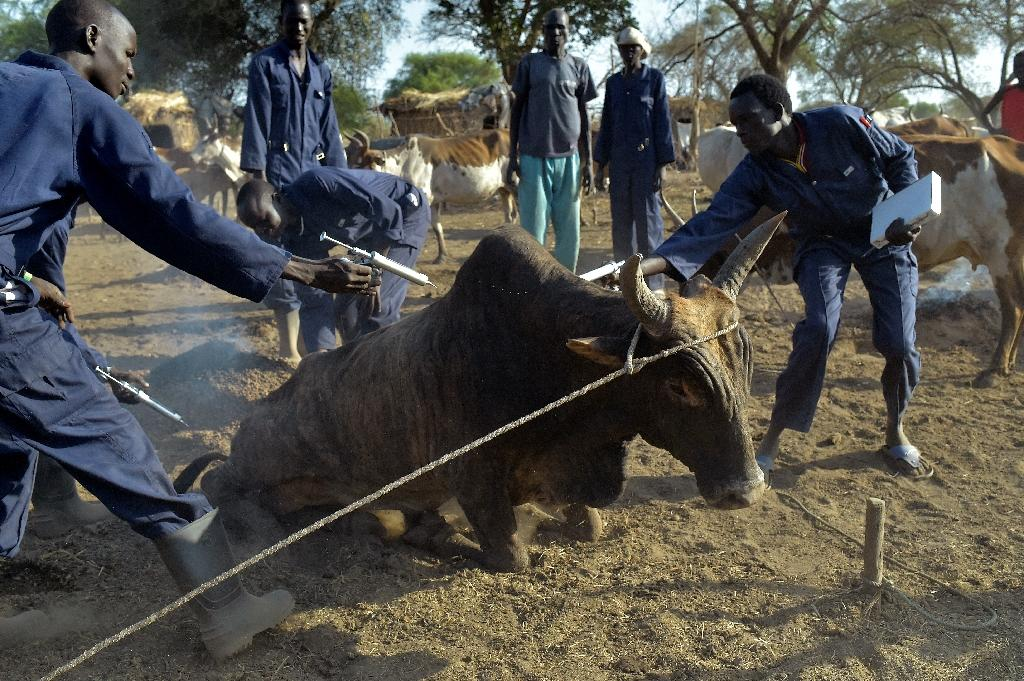 Community animal health workers assist the International Committee of the Red Cross as they vaccinate cattle, a way of protecting the livelihood of the herders (AFP Photo/SIMON MAINA)