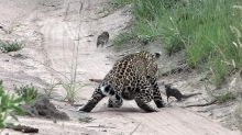 Mongoose's Close Call With Leopard