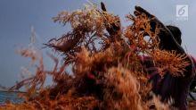 KKP Targetkan Produksi Rumput Laut Capai 10,99 Juta Ton di 2020