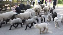 Spring lambs herded though London city farm on Easter Sunday