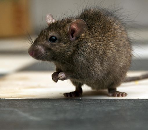 Rats, Possums and Stoats Beware! New Zealand Goes to War Against Invasive Pests