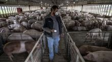 'Is pork essential?' In a Smithfield town, a coronavirus-plagued meat factory comes back to life