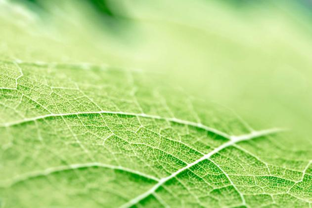 Leaf veins may lead to longer battery life