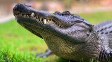 Un alligator sème la panique en Iowa, c'était en fait une peluche