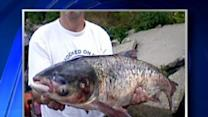 Asian Carp Found In Lake Michigan May Have Been Planted