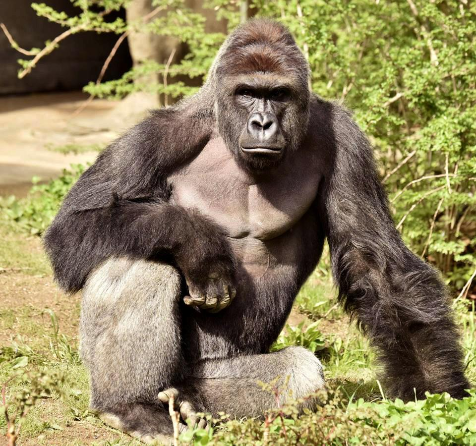 <p>Harambe is pictured in this undated handout photo provided by Cincinnati Zoo. <em>(Cincinnati Zoo/Handout via Reuters)</em> </p>