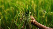 Agriculture to economy's aid: Robust rabi, F&V estimates signal farm sector recovery