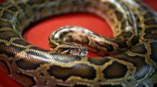 Lebendige Schlange als Mund-Nasen-Schutz im Bus in England nicht zulässig