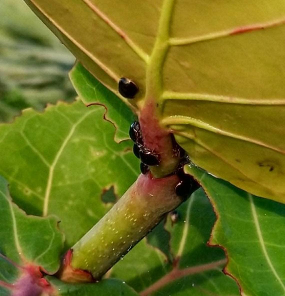 Teacher saw strange bug munching a Miami Beach seagrape. It's Florida's latest invader