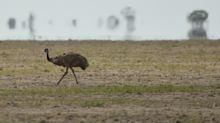 Thirsty Emus Have Invaded a Town in Southeast Australia Amid Worsening Drought
