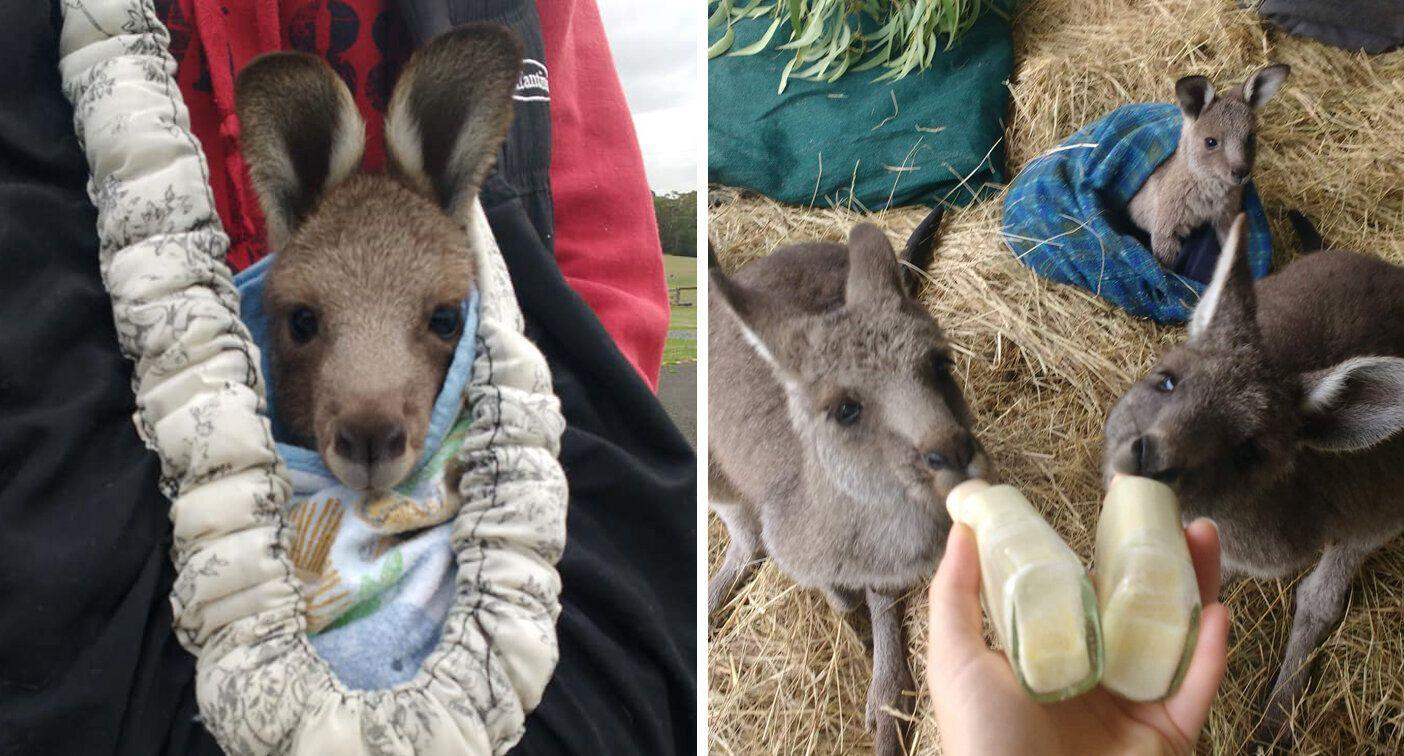 Orphaned joey rescued from man who wanted keep kangaroo as pet