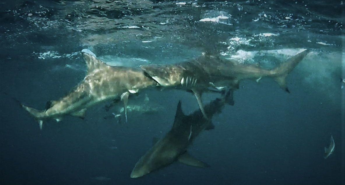 Incredible photo shows shark trying to swallow one of its kind