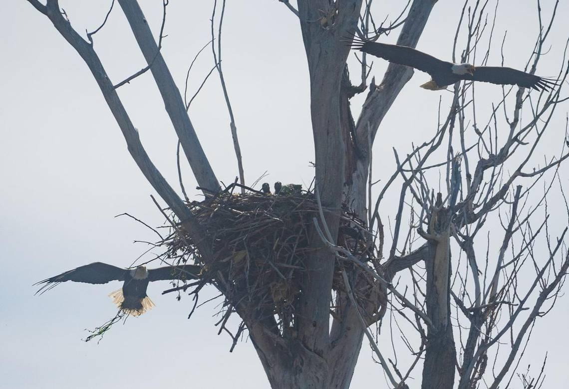 An Idaho farmer's sheep kept dying. The culprit? Bald eagles nesting near his pasture