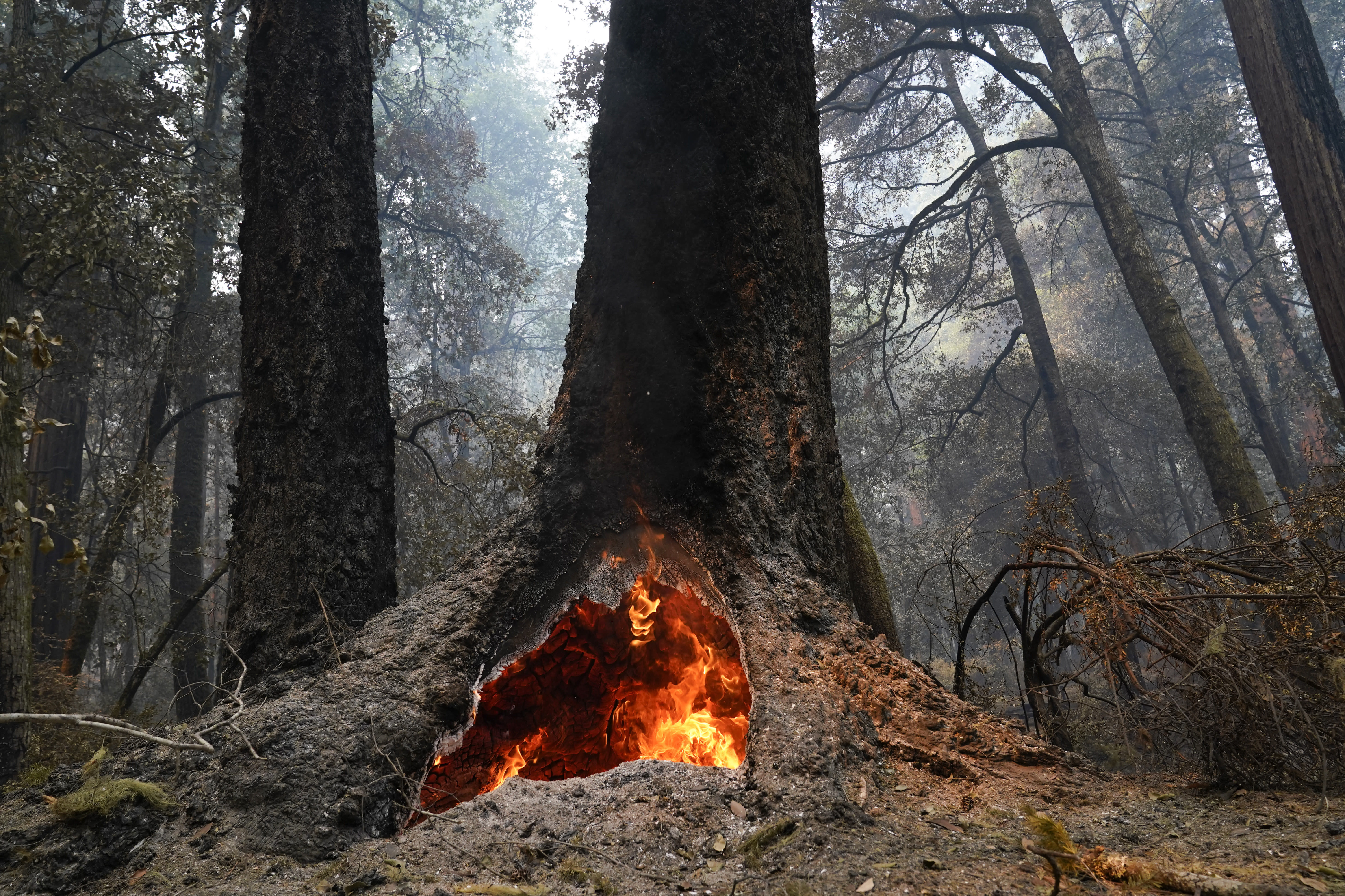 Fire burns in the hollow of an old-growth redwood tree in Big Basin Redwoods State Park, Calif., Monday, Aug. 24, 2020. The CZU Lightning Complex wildfire tore through the park but most of the redwoods, some as old as 2,000 years, were still standing. (AP Photo/Marcio Jose Sanchez)