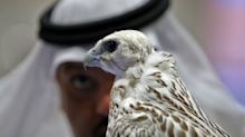'Emotional support falcons' on a flight go viral — but there's more to the story