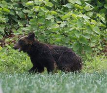 Marauding bear brings chaos to Japanese suburb before being shot