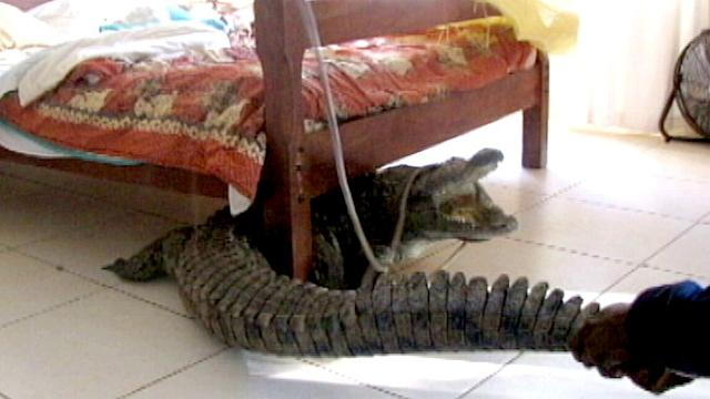 Man Spends Night with Croc Under Bed