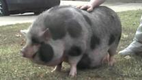 Pig-napped swine found after thieves crash owner's auto