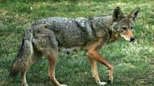 Why Are We Waging War on Coyotes?