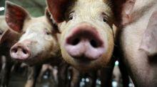 EU backs Belgium's pre-emptive swine fever slaughter