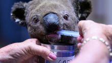 Los koalas no se están extinguiendo... todavía