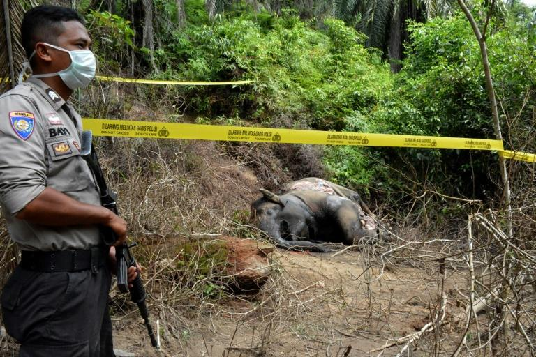 The dead elephant's stomach contents would be analysed to confirm its cause of death