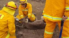 Firefighters praised for rescue of trapped roo in bushfire