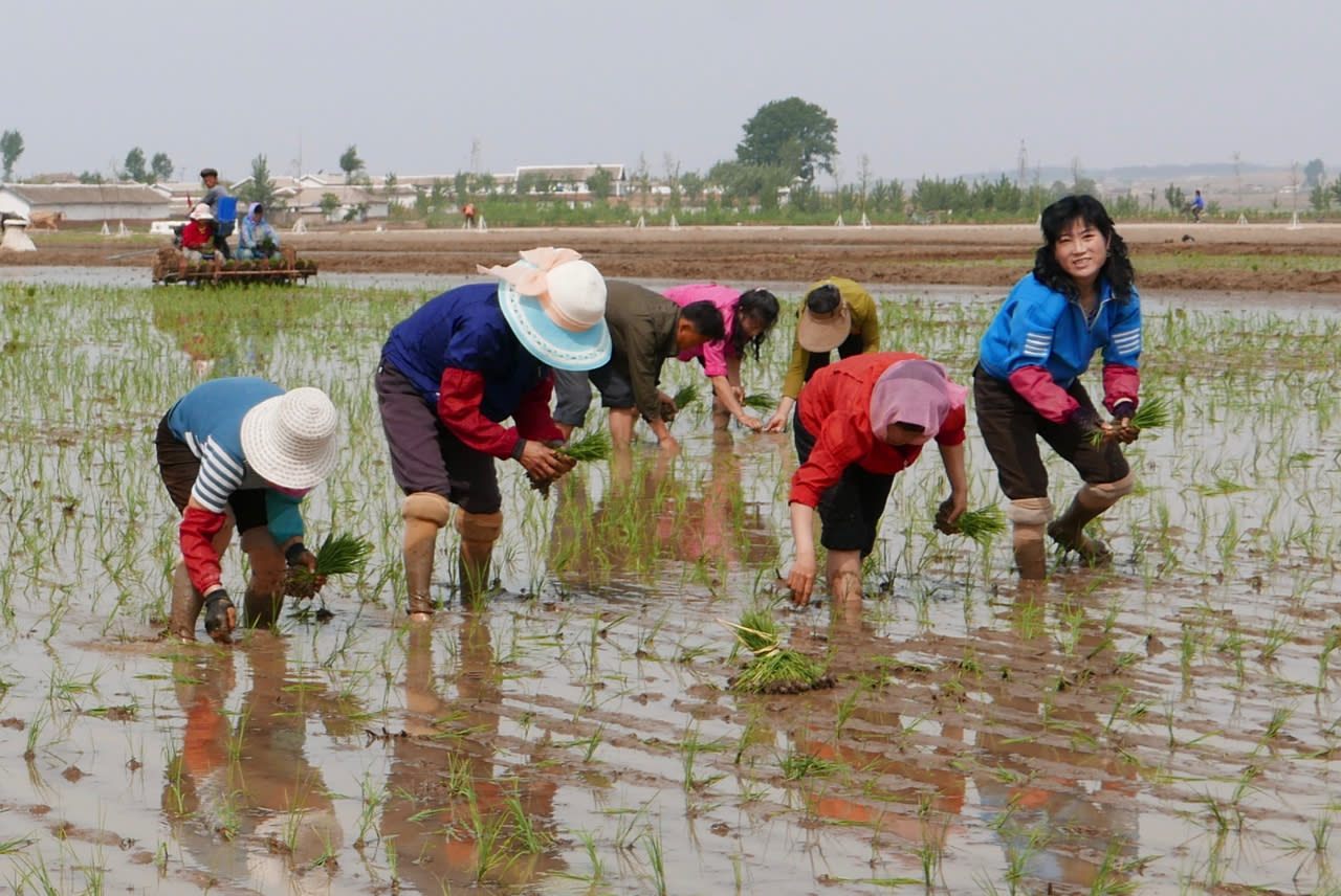 In this May 17, 2019, photo, North Korean farmers plant rice seedlings in a field at the Sambong Cooperative Farm, South Pyongan Province, North Korea. The month of May is usually the crucial rice transplanting season in North Korea, when seedlings are taken out of their beds and put into the main rice fields. UN agencies have recently warned that North Korea faces more hunger, after last year's harvest was down, and a lack of rainfall for this year's farming. (AP Photos/APTN)