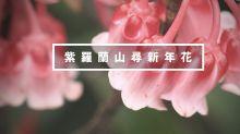 週末行山:紫羅蘭山尋新年花