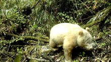 All-White, Albino Panda Captured on Camera for the First Time in Chinese Forest