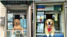 【有片】日本大阪香煙舖「看板犬」近照 成熟穩重霸氣依舊