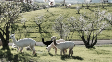 You Can Book an Airbnb at an Alpaca Ranch, and It's Only $74 a Night